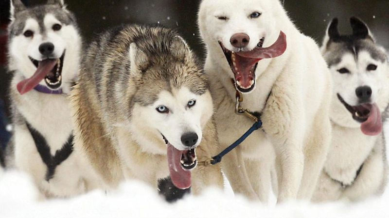 aviemore-sled-dog-rally