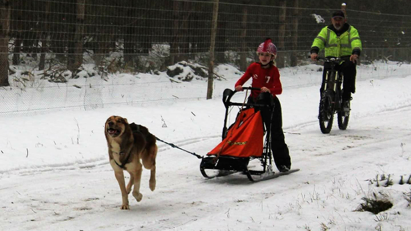 Daisy Devlin Uks Youngest Freight Dog World Champion Sled On Snow