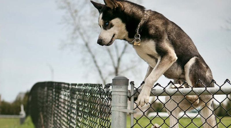 The escaping Husky