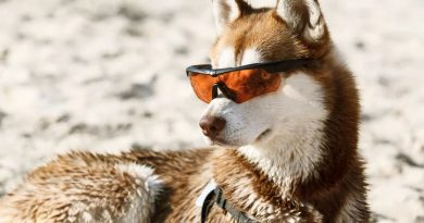 Siberian Husky in sunglasses