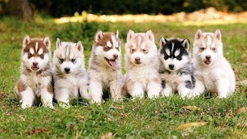 siberian-husky-puppies