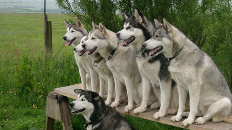 siberian-husky-training