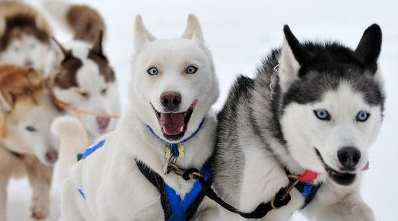working sled dog team northernwolf